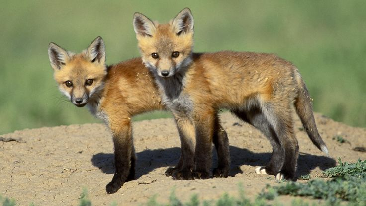 tennessee red fox images   Red Fox CubsRed Fox Cubs