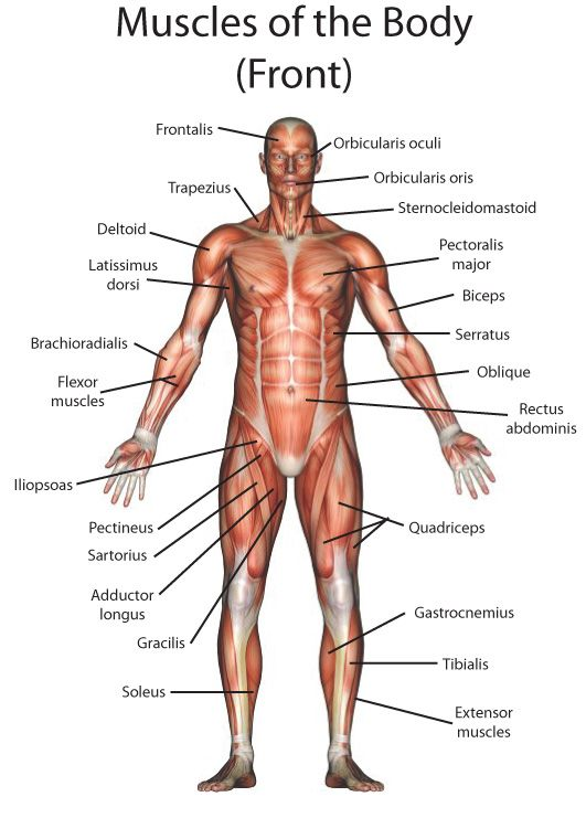 Picture Muscles Of The Body – kefei04.com
