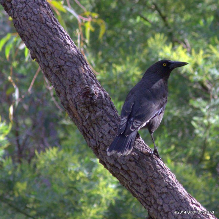 Buckland Australia  city photo : Pin by Scott Buckland on Australian Birds Lifelist | Pinterest