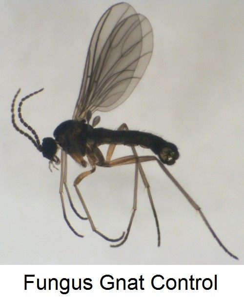 how to kill fungus gnats in the house