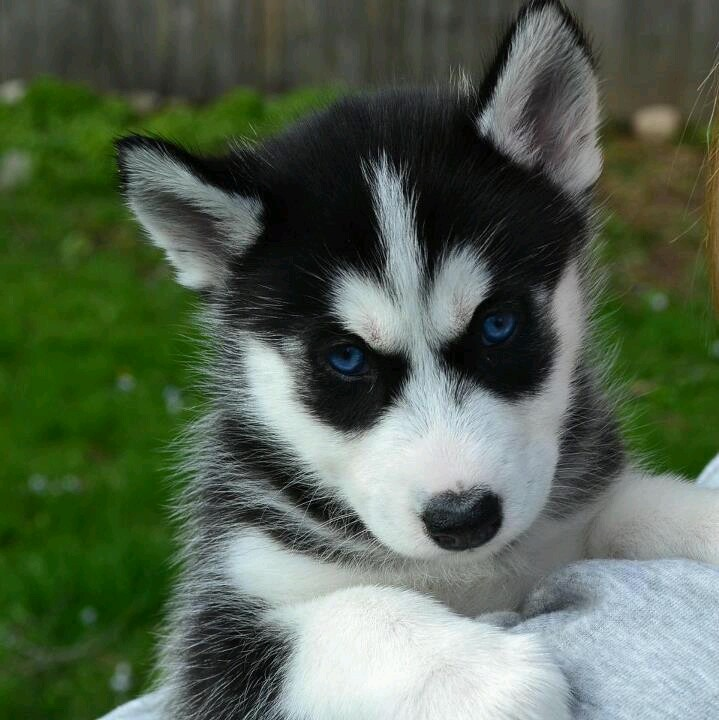 Baby Dogs Husky With Biue Eyes