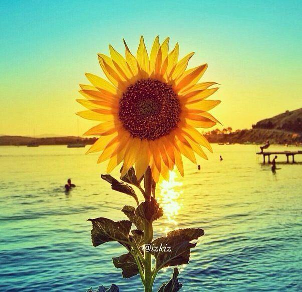 summer sunflowers andrea - photo #43