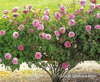 Gertrude Jekyll Roses In Gardens Gardening Roses Outdoor Living