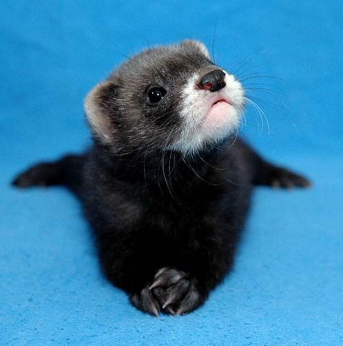 """Ferret and he askes, """"What?"""""""