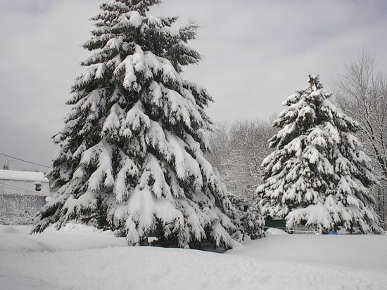Evergreen trees in their winter finery. | Winter Ideas ... Pictures Trees In Winter Pinterest