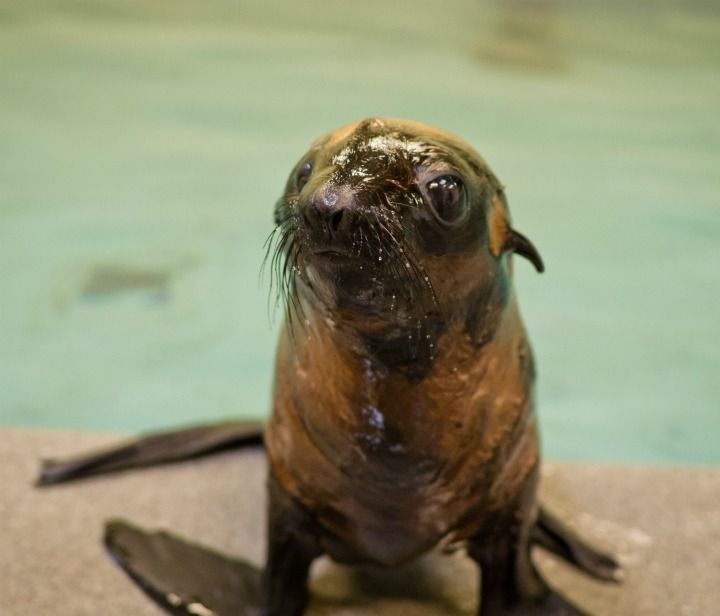 Orphan Fur Seal pup with mottled fur arrives at New England Aquarium