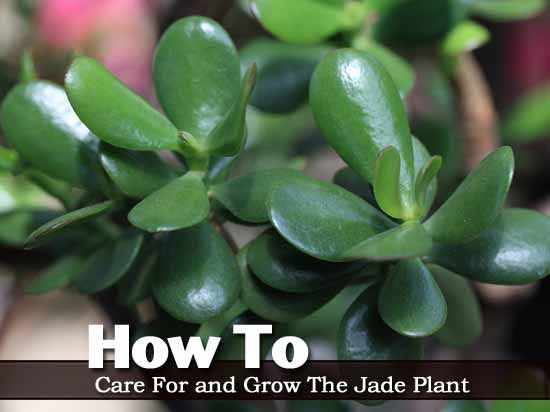 How To Care For And Grow The Jade Plant Video