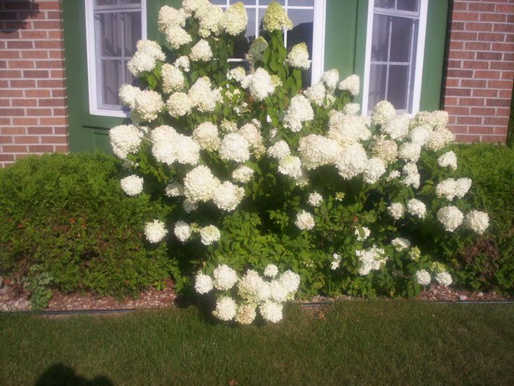 How to plant and care for hydrangeas - Caring hydrangea garden ...