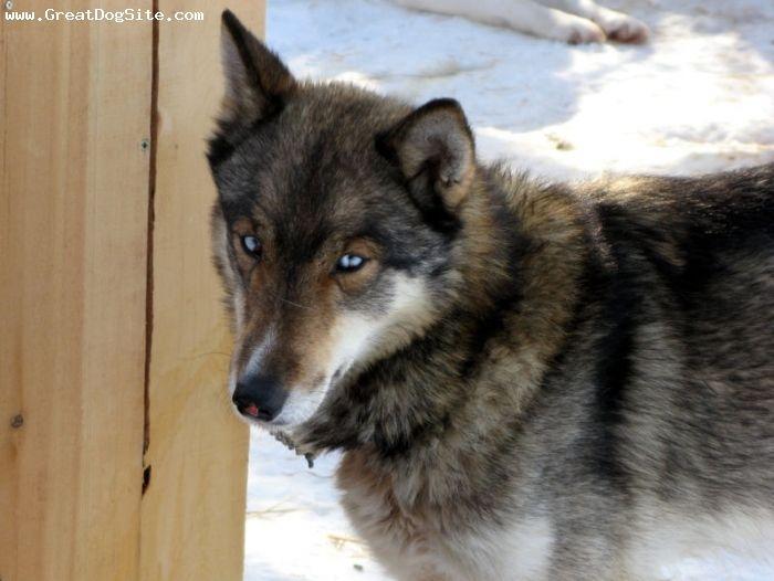 Siberian Husky Wolf Hybrid | Extra:Has a scratch mark above her ...