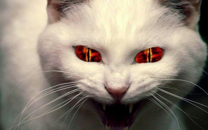 Devil Cat Video