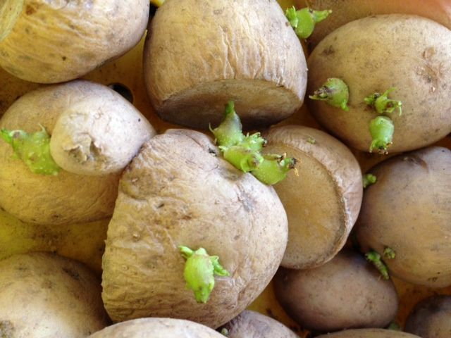 image of greensprouted potatoes