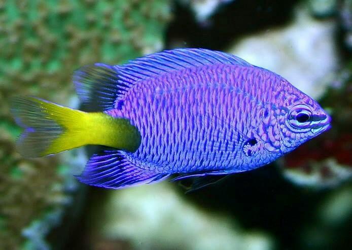 Yellow tailed damsel fish | Things I love | Pinterest