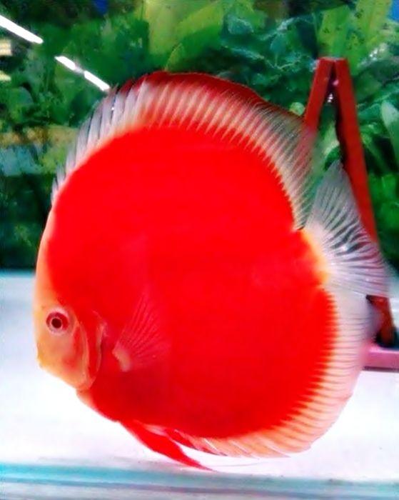 Red Discus aquariums and fish Pinterest