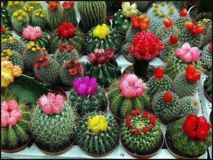 Colorful cactus garden plants pinterest - Piante grasse con fiori ...