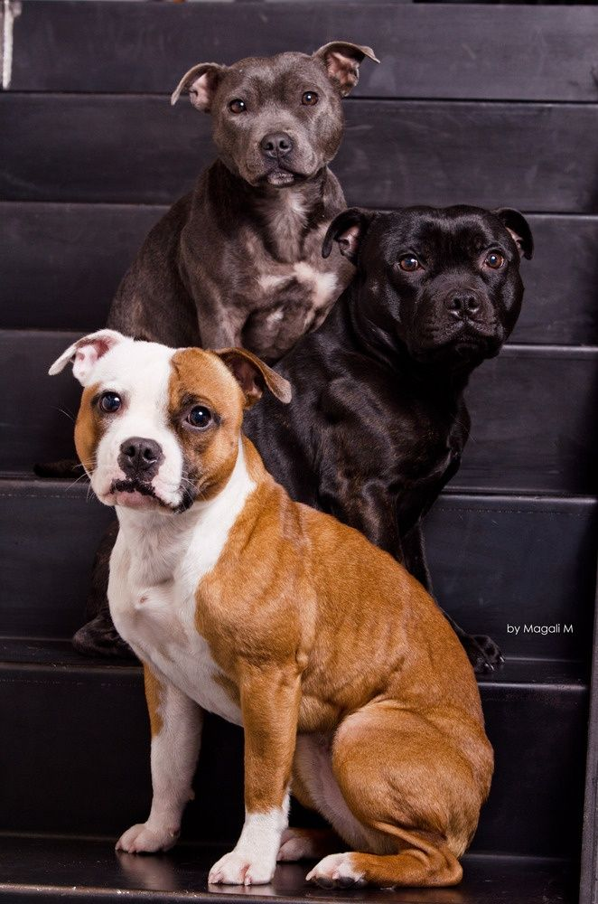 Le Staffordshire Bull Terrier : le staffie Eca541f324e948ba65eba729a02c9505