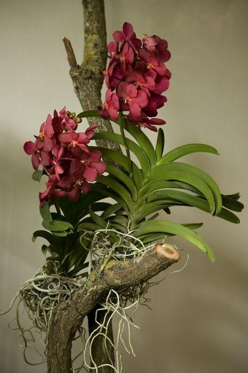 vanda orchidee nothing but orchids pinterest. Black Bedroom Furniture Sets. Home Design Ideas