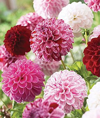"""""""Pot Luck"""" Dahlia - one plant will produce dozens of blooms of varying colors - love this!"""