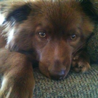 chow chow border collie mix - photo #23