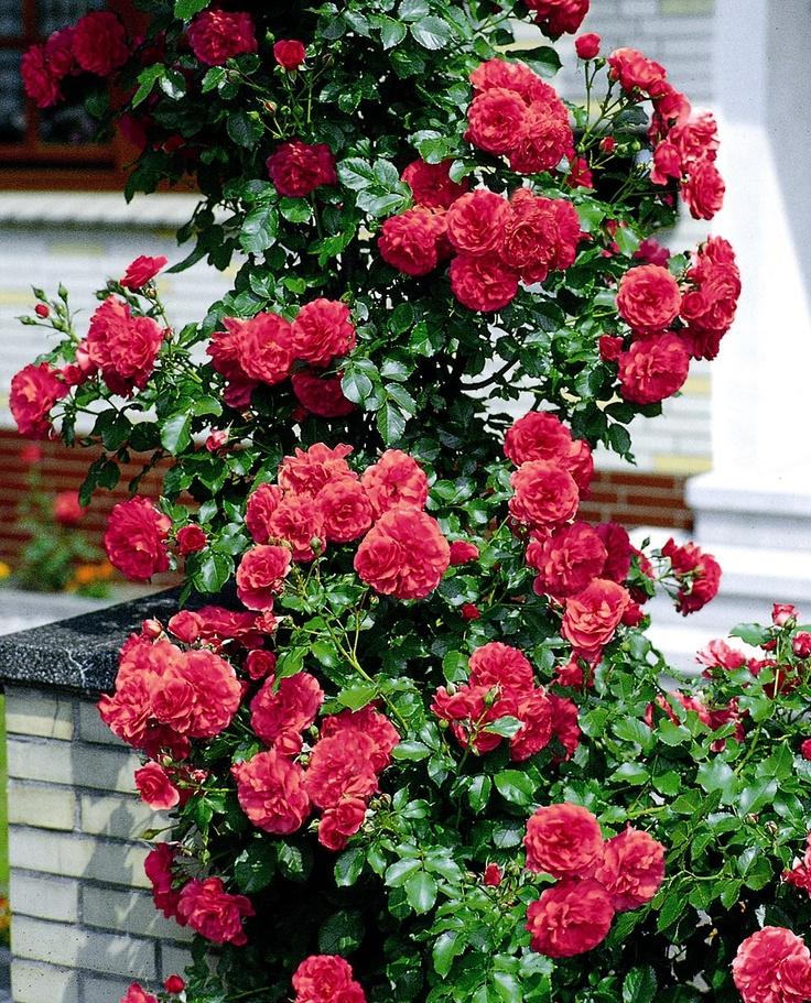 german rose rosarium uetersen climbing roses pinterest. Black Bedroom Furniture Sets. Home Design Ideas