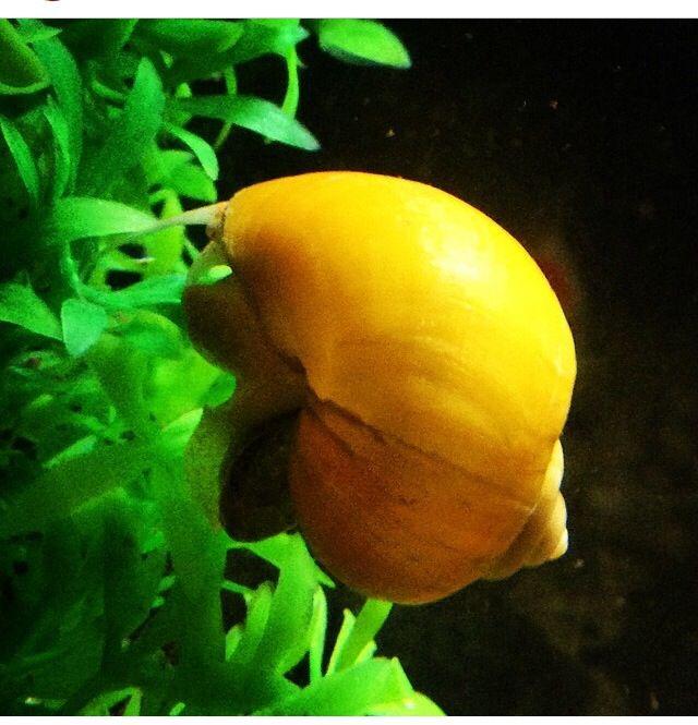 My apple snail