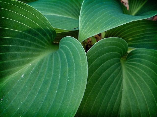 Hosta    hosta leaves in my front flower bed