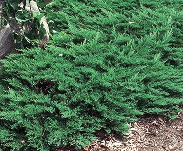 Juniperus Sabina Landscape Pinterest