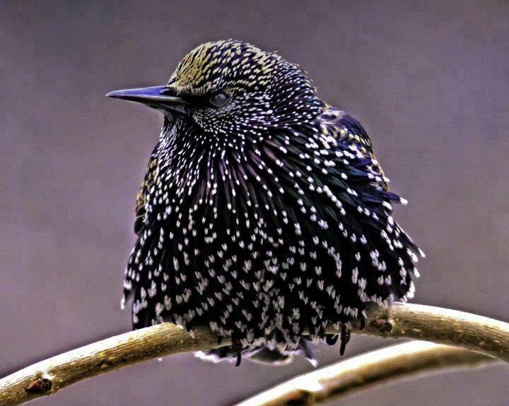 European Starling | Birds | Pinterest