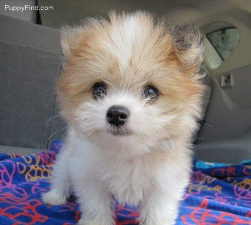 Pomeranian Maltepom Youngstown Alexis Petstercom