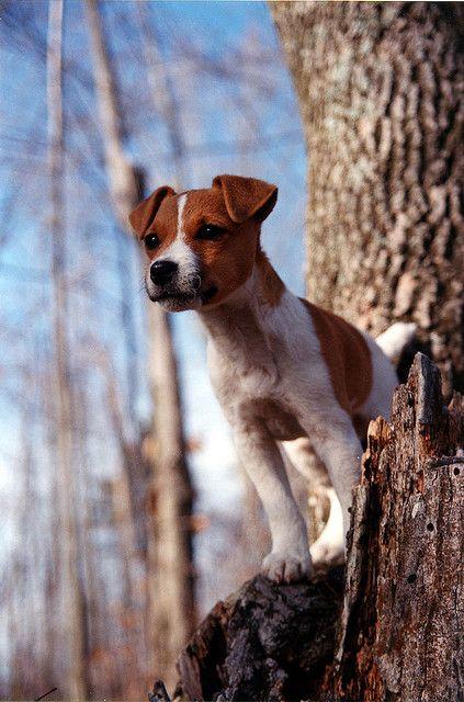 Le Parson Russell Terrier Ed8685c5e78e4820cdbd95a506c16e3c
