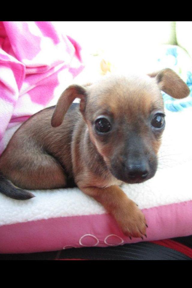 Chiweenie Puppy | Dog Breeds Picture