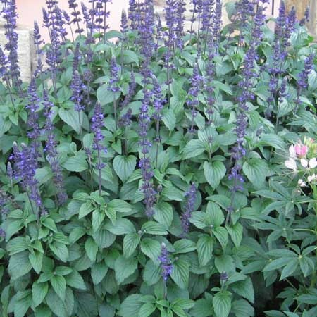 Salvia Mystic Spires Blue | Salvias | Pinterest