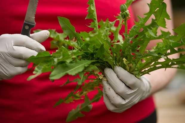DANDELION PESTO RECIPE, best harvested before bloom. Julia O'Malley ...