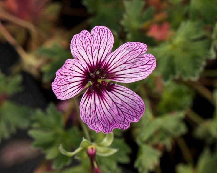 geranium cinereum group 39 ballerina 39 plants. Black Bedroom Furniture Sets. Home Design Ideas