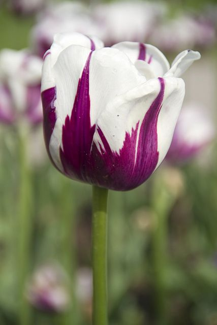 White TulipsPurple And White Tulips