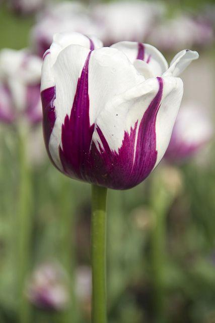 White TulipsPurple And White Tulips