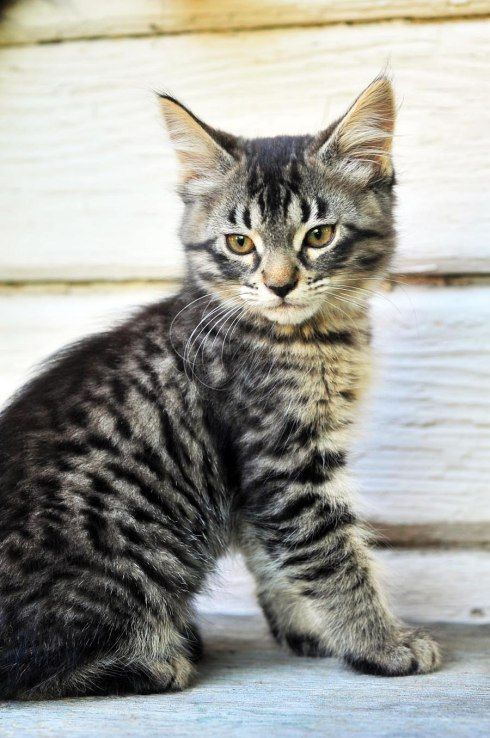Maine coon cats all about maine coon cats history personality
