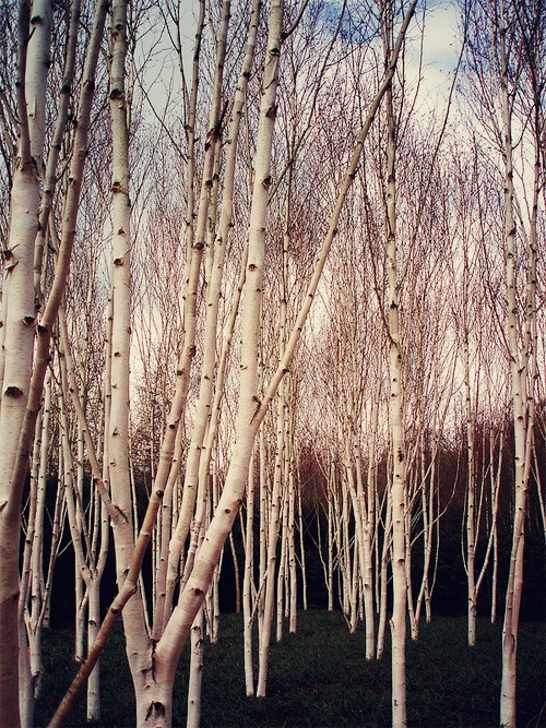 birch trees reminds me of back home
