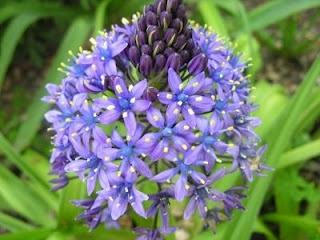 Imágenes de flores y plantas: Flor de la Corona