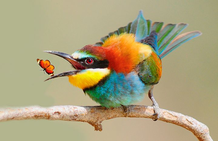 bee-eater and butterfly - spectacular color display.