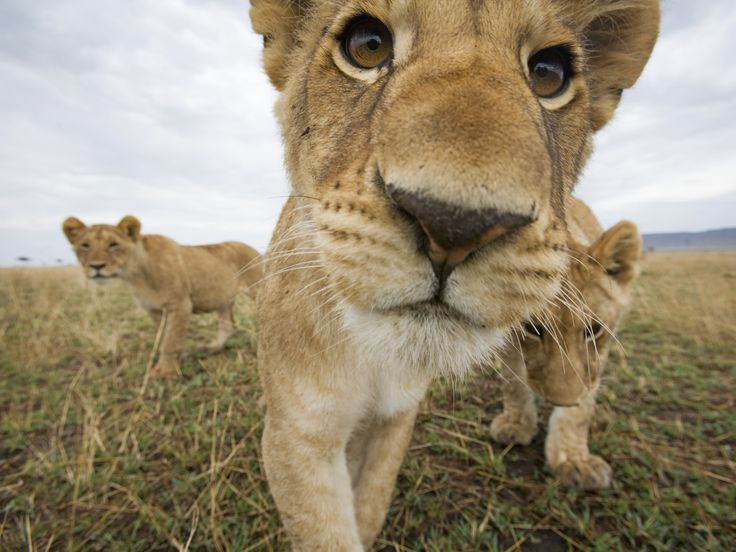 The curious lion cubs in Masai Mara Game Reserve, Kenya.