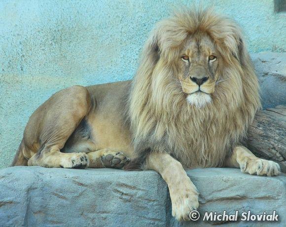 Katanga Lion     IKatanga Lion