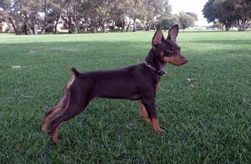 """Recognized as the """"King from the Toys,"""" the Miniature Pinscher is a ..."""