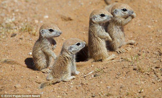 Baby Ground Squirrels.