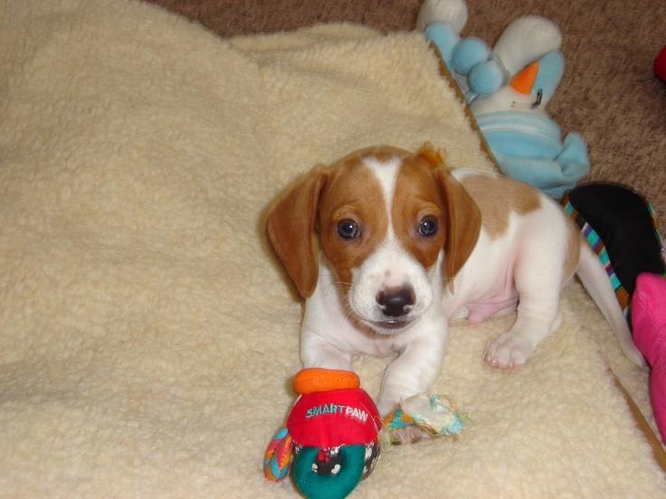 Piebald Dachshund Puppy | Doxies are the Best! | Pinterest