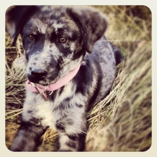 My dog ginger. Catahoula hound mix | Cows & Critters | Pinterest