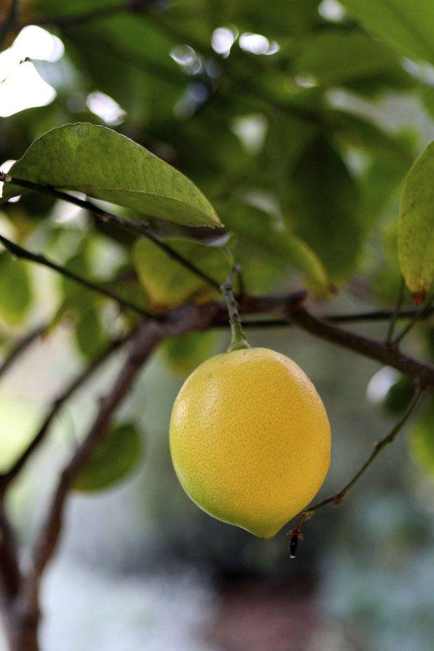 Fall Dessert: Meyer Lemon Sorbet | Sweet tooth, fruits, etc | Pintere ...