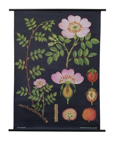 Dog Rose Botanical Poster