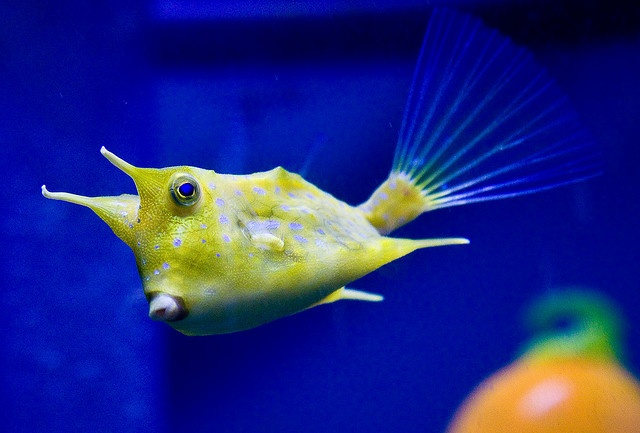 The longhorn cowfish, Lactoria cornuta, is a variety of boxfish from ...