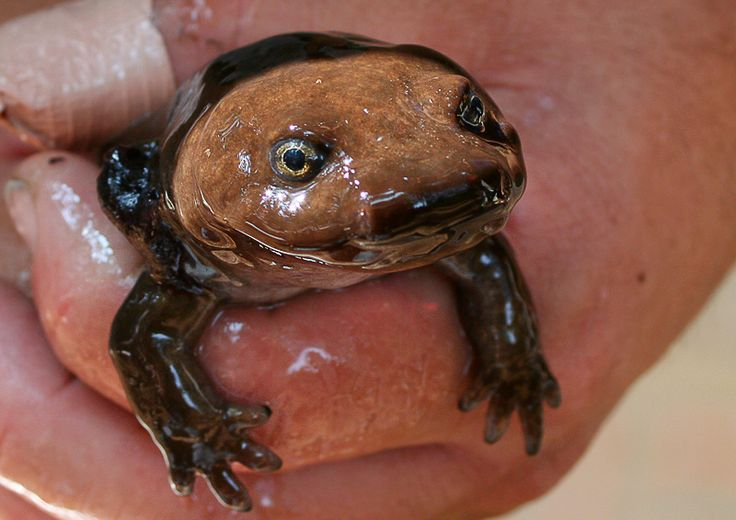Mudpuppy by marlene-annette: Necturus maculosus is an aquatic ...