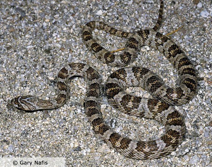 Texas lyre snake snakes reptiles and amphibians Garden snakes in texas